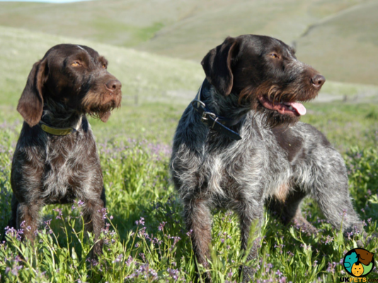German Wirehaired Pointers in Great Britain