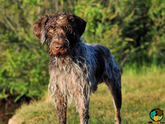 German Wirehaired Pointer Dog Breed Information | UK Pets