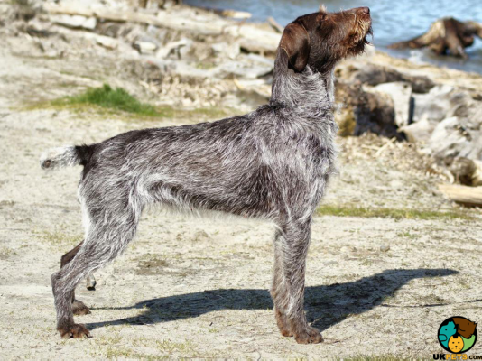 German Wirehaired Pointer in Great Britain