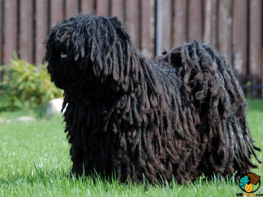Hungarian Puli Dogs
