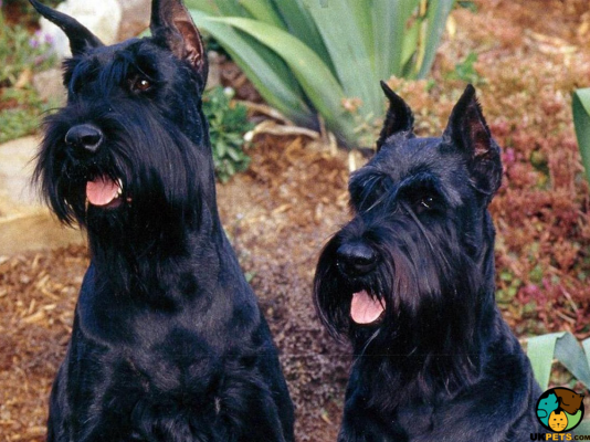Giant Schnauzers in the UK