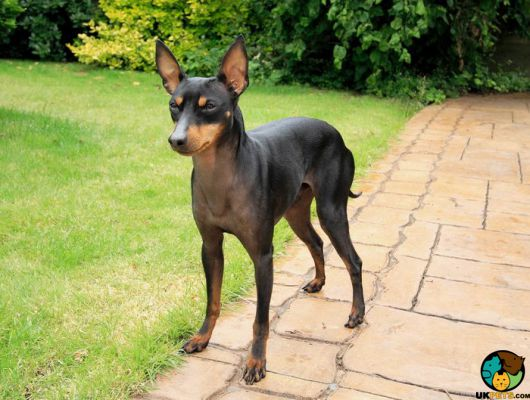 English Toy Terriers in Great Britain