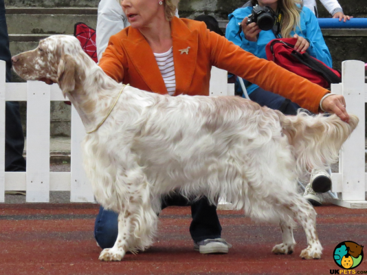 English Setter in the UK