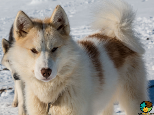Greenland Dogs in the UK