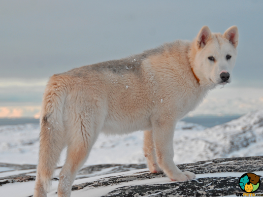 Greenland Dogs in Great Britain