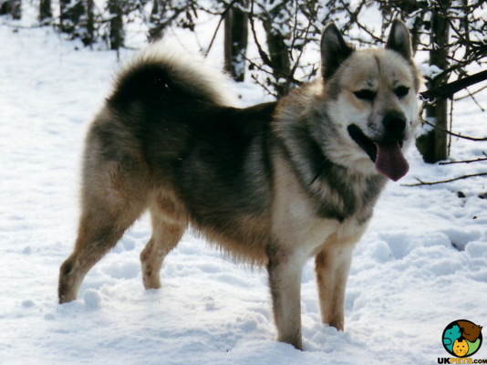 Greenland Dog in the UK