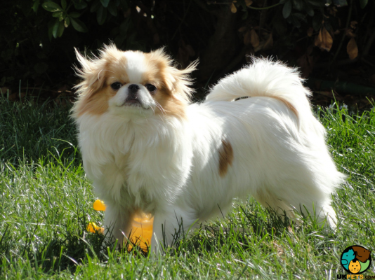 Japanese Chin in the UK