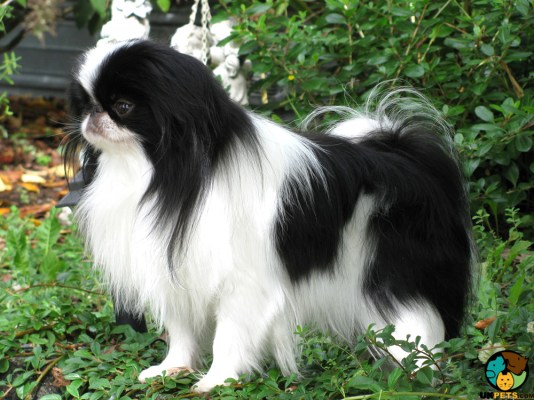 Japanese Chin in Great Britain