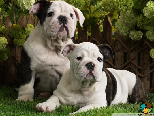 Old Tyme Bulldog Puppies