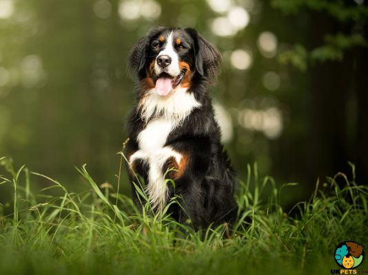 Bernese Mountain Dogs in Great Britain