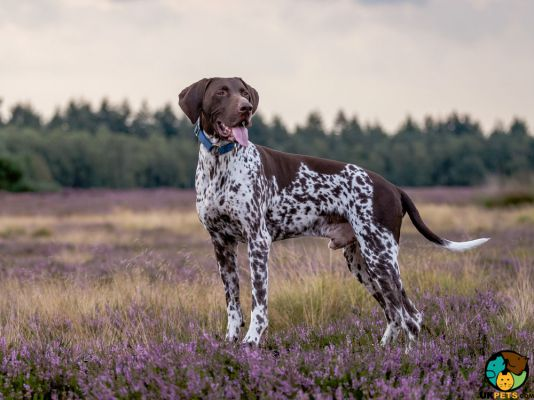 German Shorthaired Pointer in Great Britain