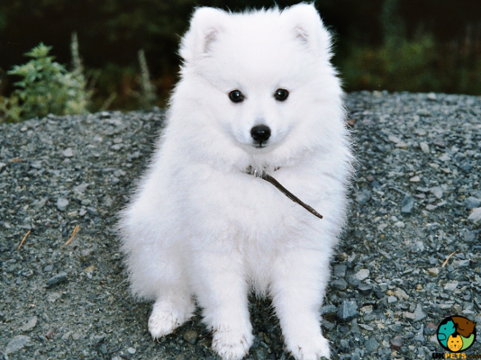 Japanese Spitz in the UK