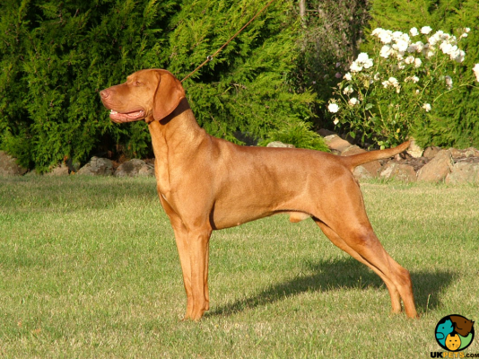 Hungarian Vizslas in Great Britain