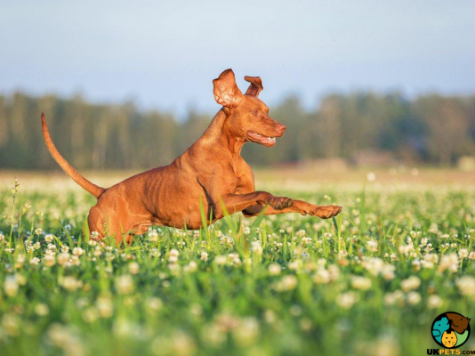 Hungarian Vizsla in Great Britain