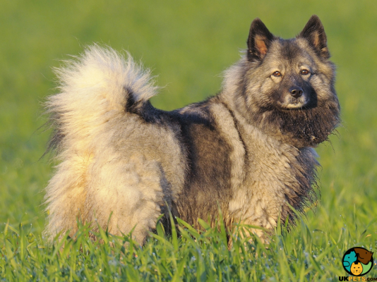 Keeshond in the UK