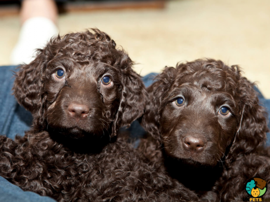 Irish Water Spaniel Puppies