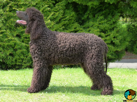 Irish Water Spaniel Dog Breed Information