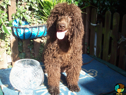Irish Water Spaniel in Great Britain