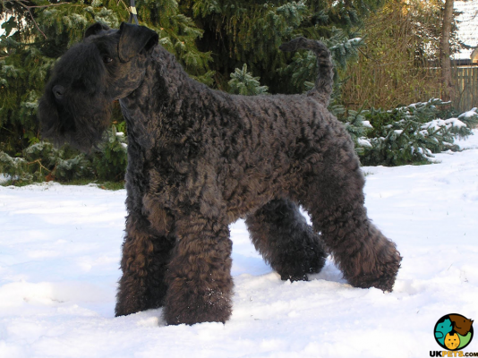 Kerry Blue Terrier Dogs