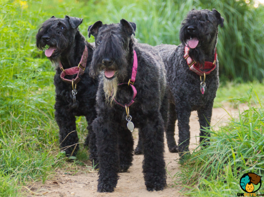 Kerry Blue Terriers in the UK