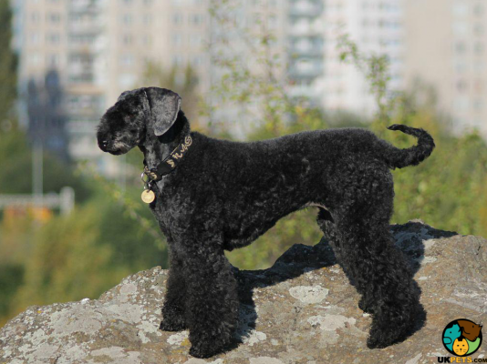 Kerry Blue Terrier Puppies