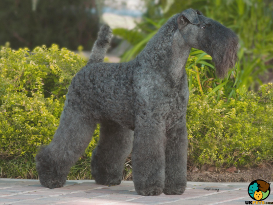 Kerry Blue Terrier in Great Britain