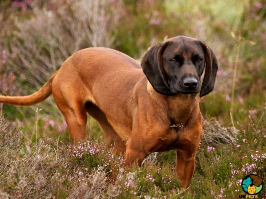 Bavarian Mountain Hounds