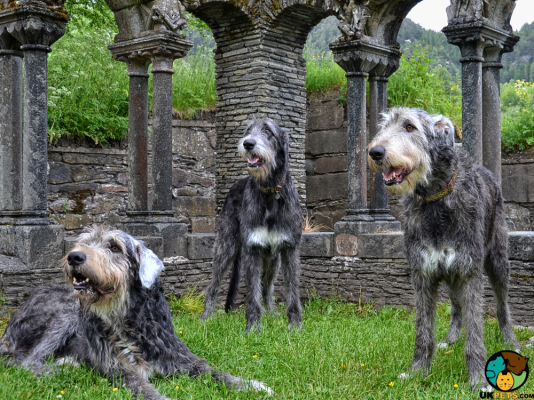 Irish Wolfhounds in the UK
