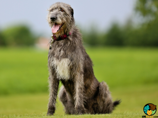 Irish Wolfhounds in Great Britain