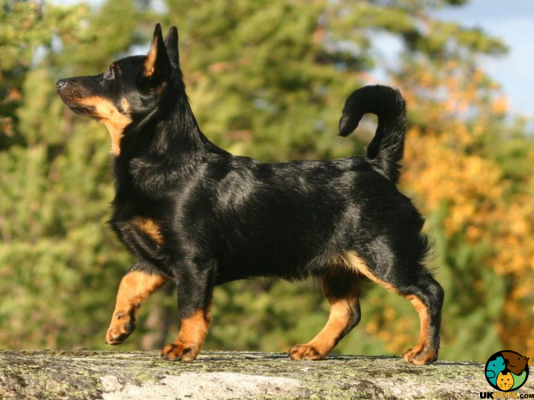 Lancashire Heelers in Great Britain