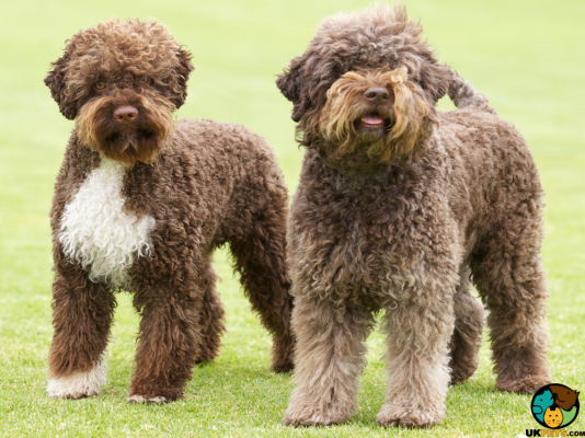 Lagotto Romagnolos in the UK