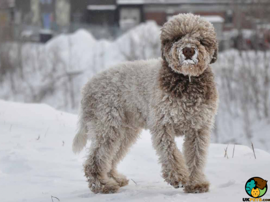 Lagotto Romagnolo in Great Britain