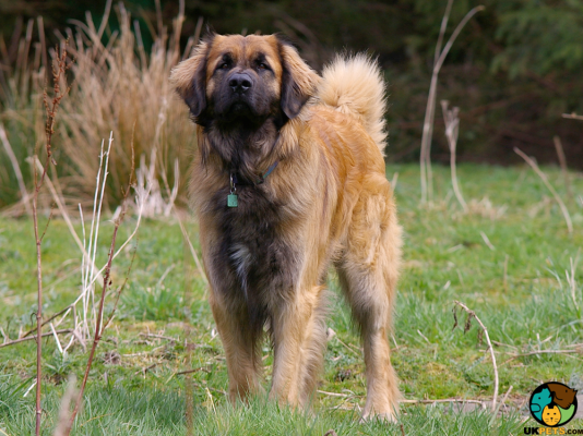 Leonberger in the UK