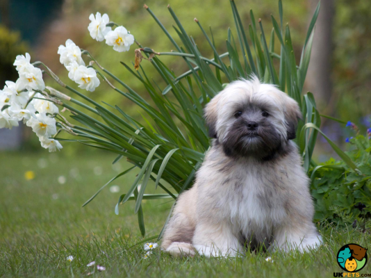 Lhasa Apso in the UK