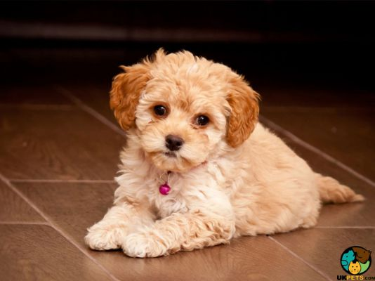 Maltipoo Dog Breed Information | UK Pets