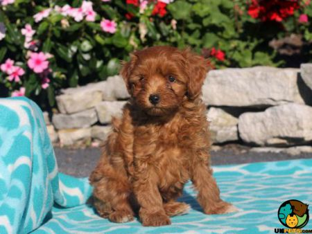 Maltipoo Dog Breed Information Uk Pets