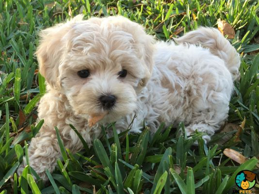 Maltipoo in the UK