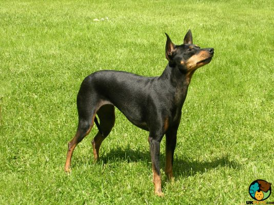 Manchester Terrier in Great Britain