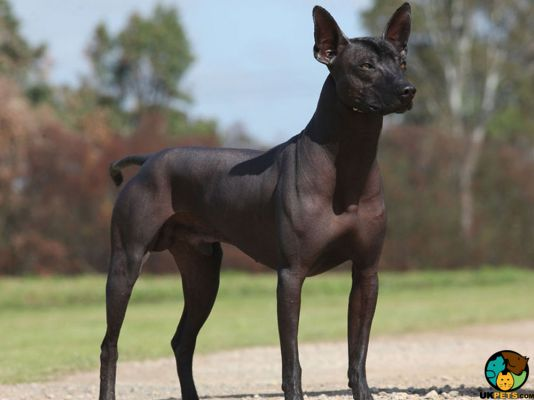 Mexican Hairless in Great Britain