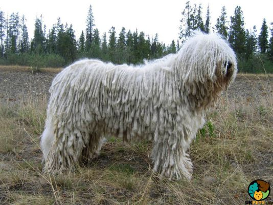 Komondor in Great Britain