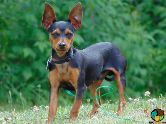 Miniature Pinscher in the UK