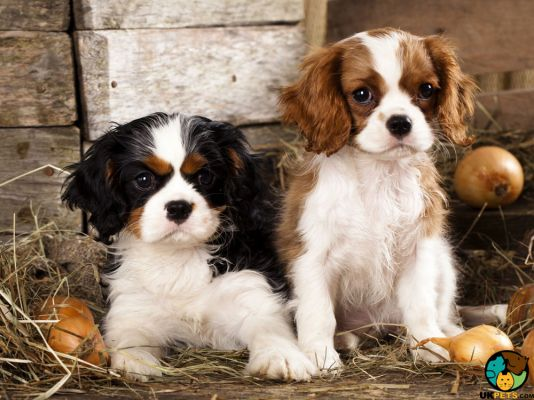 King Charles Spaniel in the UK