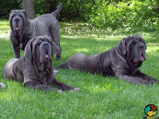 Neapolitan Mastiffs in Great Britain