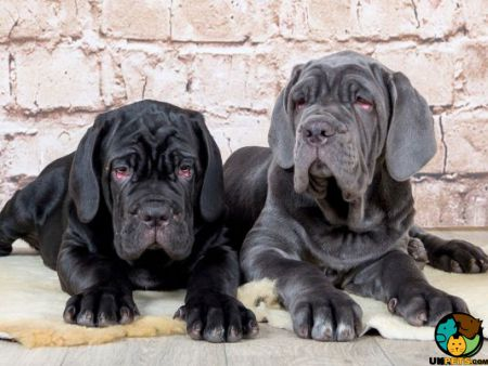 Neapolitan Mastiff Dog Breed Information | UK Pets