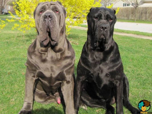 Neapolitan Mastiff in Great Britain