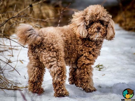 Miniature Poodle in Great Britain