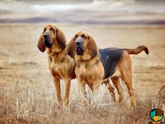 Bloodhounds in the UK