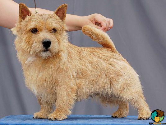 Norfolk Terriers in the UK
