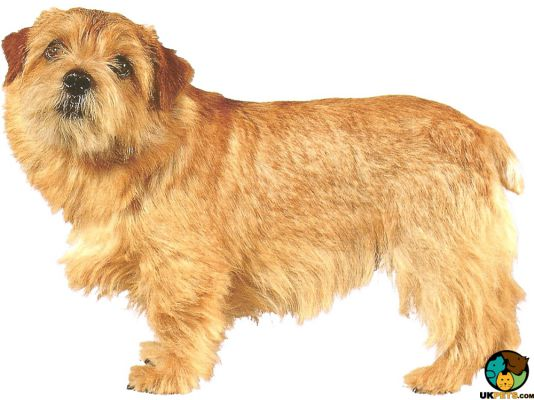 Norfolk Terrier in the UK