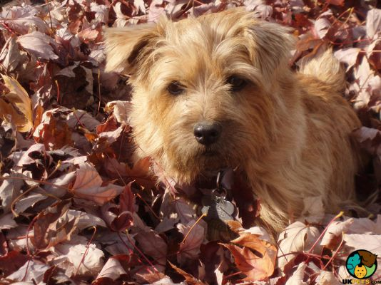 Norfolk Terriers in Great Britain
